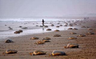 ФОТО | Опустевшими пляжами Индии воспользовались черепахи. Они отложили там около 60 миллионов яиц
