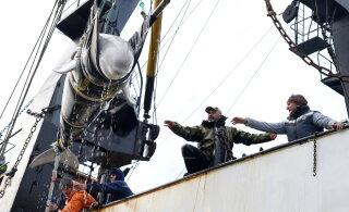 """Зоозащитники нашли 100 косаток и белух в """"китовой тюрьме"""" — и спустя год добились их освобождения"""