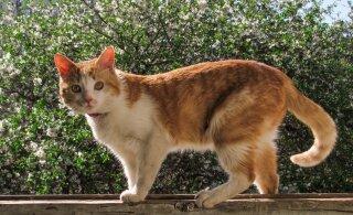 Võõras kass pissib aeda: kuidas naabruskonna kassid koduaiast eemal hoida?