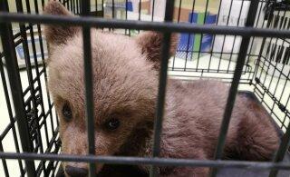 """ФОТО: """"Почему его отвезли в лес умирать?"""" Найденный в лесу медвежонок стал яблоком раздора между чиновниками и защитниками животных"""