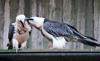 Loomaaia habekotkad valmistuvad vanemateks saama