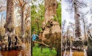 Teadlased avastasid puu, mis on vanem nii püramiididest kui ka kristlusest – ja elanud üle 26 sajandit inimtsivilisatsiooni
