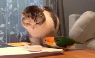ВИДЕО | Эпичная битва попугая с котом веселит весь Интернет!