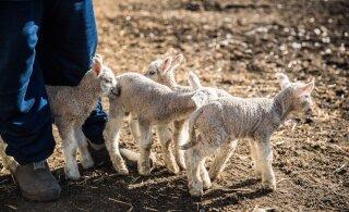 VIDEO   Lammaste poegimishooaeg on käes: sünnivad nelikud ja viisikud