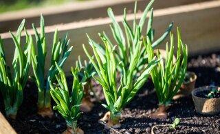 Дождливая погода активизировала завезенных в Эстонию пожирателей садовых культур