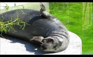 VIDEO   Tallinna loomaaia hülgepoeg Virgo näitab ennast külastajatele üha julgemalt