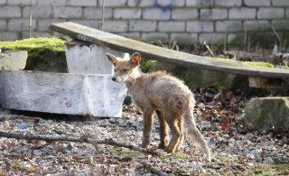 ФОТО | В Нарве появилась страшного вида лиса