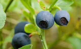 Урожай черники в этом году в Южной Эстонии будет скудным. С другими регионами не все столь однозначно