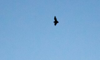 Kolmekümnepealine seltskond ajas keset ööd Kadriorus nahkhiiri taga