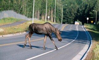 Ettevaatust autojuhid! Jahihooaeg ajab metsloomad maanteedele