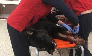 ФОТО: На острове Прангли пьяный мужчина подстрелил собаку, животное скончалось