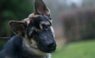 Maksu- ja tolliamet treenib koeri keelatud postisaadetisi leidma