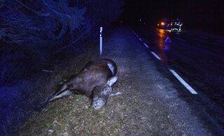 Столкновение с лосем может обойтись водителю в десятки тысяч евро