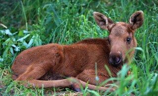 SUUR GALERII | Karud, paabulinnud, ümisejad: vaata, millised armsad loomad ootavad sind Alaveski loomapargis