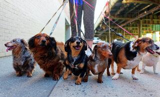 TOP 10 | Tahad koera, aga elad linnas? Koeratõud linnainimesele