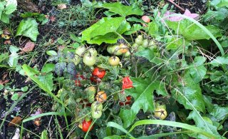 FOTOD | Seenelised leidsid Hiiumaal metsast tomatitaimed