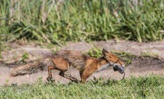 FOTOD | Loodus on armutu! Delfi fotograaf püüdis pildile rebase, kes, murtud rott hambus, Raadi lennuväljal silkas