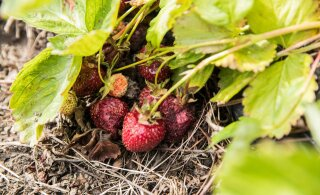 VIDEO | Maaeluminister süüdistab maasikakaoses kehva ilma. Ettevõtjad peavad seda ebarealistlikuks põhjenduseks