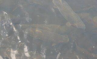 Uus sööt tõotab kalakasvatust oluliselt keskkonnasõbralikumaks muuta