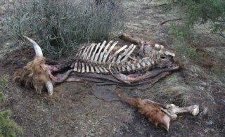 Salakütt käis Loonalaiu talvituvatest veistest matti võtmas