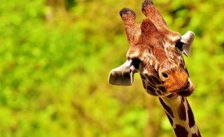 TOP 10   Väsitavad armumängud: need on kõige kummalisema ja ebaharilikuma paaritumistaktikaga loomad