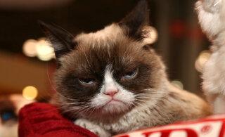 4 haruldast ja kummalist kassitõugu: teadus, mis peitub lahkunud Grumpy Cati kuulsa näoilme taga