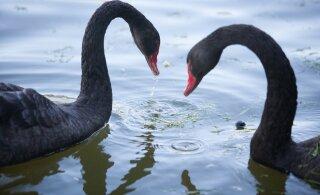 Птичий грипп? В Эстонии участились сообщения о массовой гибели лебедей