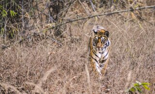 REISIIDEE LOOMAFÄNNILE   Viis parimat sihtkohta planeedil Maa, kus näeb veel tiigreid nende loomulikus elukeskkonnas