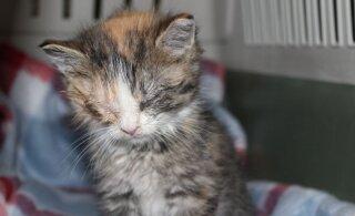 Kolme kiisu lugu   väärkoheldud kassid on pidanud kannatama nii nälga, karmi pakast kui ka väärkohtlemist