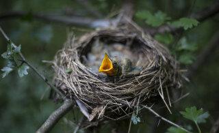 Lindude pesitsusperioodiks peavad olema metsatööd tehtud