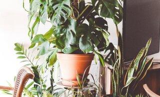 Selgitame välja põhjused, miks kõik sinu taimed närtsivad, ükskõik kuidas sa nende eest ka ei hoolitseks