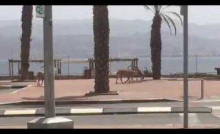 ВИДЕО | По курортному Эйлату вместо туристов начали гулять горные козлы