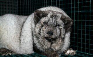 Жестокие ФОТО | Тайно сделанные на зверофермах снимки показывают, что условия жизни животных ужасные