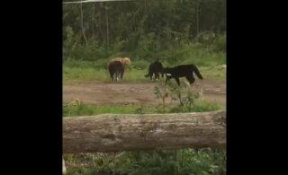 Hämmastav VIDEO | Kolm kassi tegid Pärnumaa taluõuele uudistama tulnud rebasele tuule alla