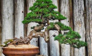 Деревья бонсай являются новейшей тенденцией для начинающих садоводов