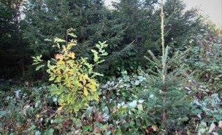 Leili metsalood | Kuusk või tamm, kumb kasvab kiiremini?