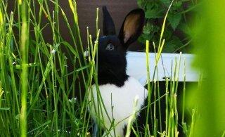 Eriline abivajaja: Tallinna loomade varjupaika sattus üks imeilus küülikupoiss