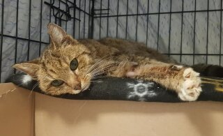 Kurb uudis: Delfi lugejatele hinge läinud kass Tipa suri
