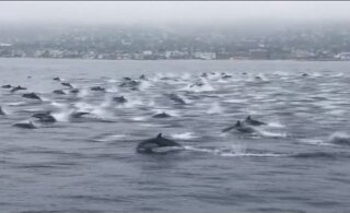 VIDEO | Californias märgati lainetel liuglemas ülisuurt delfiiniparve