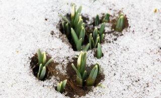 Kevadet on õhus! Homme tuleb kuni kuus kraadi sooja