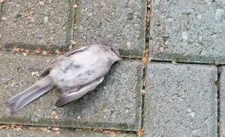 FOTOD | Väidetavalt lendavad linnud end Pühajärve spaa akendesse surnuks, spaa peab seda alusetuks valeks
