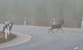 Aleksei Turovski: loomadega liiklusõnnetuste sagenemine on peamiselt tingitud metsaraie intensiivsusest