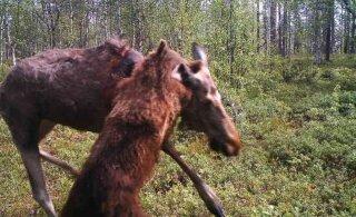 Soome piirivalve kaamera salvestas karu ja põdra heitluse