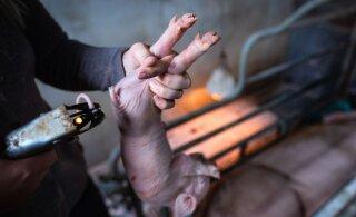 Loomakaitsjad: sigade sabade lõikamine tuleb peatada