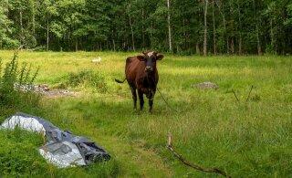 Eesti lehmad on ühed paremad piimaandjad Euroopas, aga surevad üha nooremalt