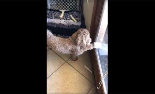 VIDEO | Sellel koeral on tuppa ja õue küsimiseks iseäralik viis