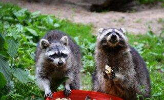 Kas tead, kuidas sööb bandiidimaskiga pesukaru? Loomaaed tutvustab loomade kummalisi söömiskombeid