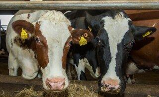Suurinvestorid survestavad liha- ja piimatootjaid antibiootikumide pärast