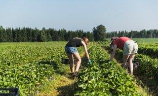 Эстония может обеспечить лишь треть своей потребности в сборщиках клубники