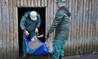FOTO | Tallinna loomaaia lakklambad uinutati välisreisiks